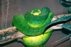 Pitón verde imagen de archivo libre de regalías