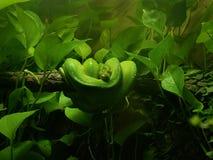 Pitón verde del árbol fotos de archivo