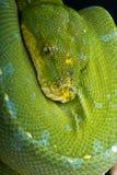 Pitón verde del árbol foto de archivo