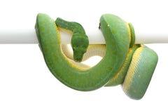 Pitón verde del árbol aislado en el fondo blanco Imagen de archivo libre de regalías