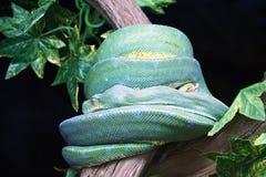 Pitón verde del árbol en el parque zoológico Imagen de archivo libre de regalías