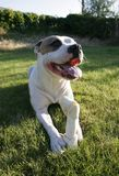 Pit Bull Royalty Free Stock Image