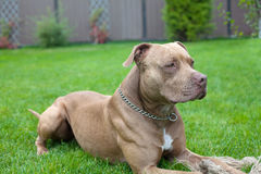 Pit bull. Image of brown pit bull lying on the green grass near the house Stock Image