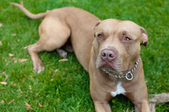 Pit bull. Image of brown pit bull lying on the green grass Stock Photography