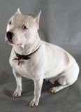 Pit-bull. Margo, white pit-bull with blue eyes. Studio photo Royalty Free Stock Images