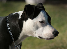 Pit bull. Black and white pit bull dog royalty free stock image