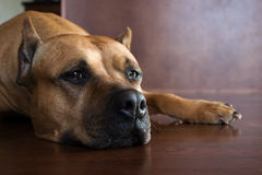 Pit bull. Lazy pit bull laying down on the floor Royalty Free Stock Photo