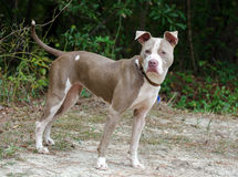 Pit Bull adoption photo Stock Photo