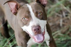 Pit Bull Adoption Portait Image libre de droits