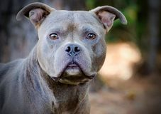 Pit Bull Adoption Portrait azul Fotos de archivo