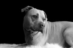 Pit bull black and white Royalty Free Stock Photos