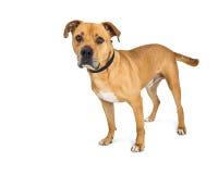 Pit Bull Boxer Dog Attentive-Uitdrukking stock afbeelding
