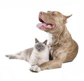Pit bull and a cat. On a white studio background Stock Photography