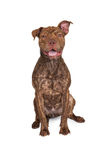 Pit Bull Cross Happy Expression Imagens de Stock