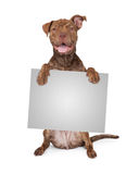 Pit Bull Cross Holding Blank Sign Royalty Free Stock Image