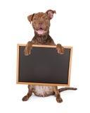 Pit Bull Cross Holding Chalk Board Stock Photo