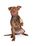 Pit Bull Cross With Injured Paw Stock Photos