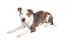Pit Bull Cross Laying mignon Images stock