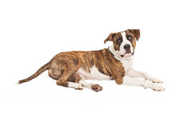 Pit Bull Cross Laying to Side Royalty Free Stock Photo