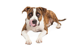Pit Bull Cross Licking Lips affamé Images stock