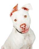 Pit Bull Crossbreed Dog Closeup branco imagens de stock