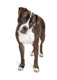 Pit Bull Crossbreed Dog Looking curioso para baixo imagens de stock royalty free