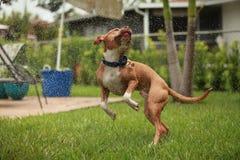 Pit Bull dancing in the sprinkler stock photos