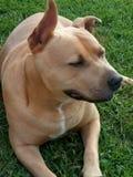 Pit Bull Dog imagen de archivo libre de regalías