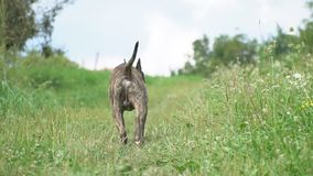 Pit Bull Dog stock footage