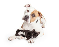 Pit Bull Dog amigável e gatinho afetuoso Fotos de Stock Royalty Free