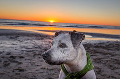 Pit bull dog on beach at sunset. A pit bull mix breed sits on dog-friendly Arroyo Burro Beach in Santa Barbara during a brilliant sunset. The beach includes a Stock Photos
