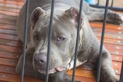Pit bull dog in the cage. Looking annoyed Royalty Free Stock Photo