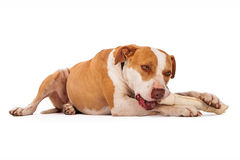 Pit Bull Dog Chewing on Bone Royalty Free Stock Photos