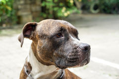 Pit bull dog Royalty Free Stock Photo