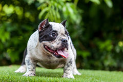 Pit Bull dog cute, curious gesture on the grass Royalty Free Stock Image