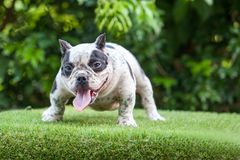 Pit Bull dog cute, curious gesture on the grass Royalty Free Stock Photography