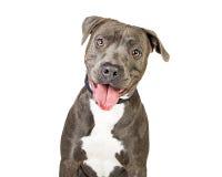 Pit Bull Dog de sorriso amigável feliz fotos de stock