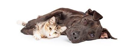 Pit Bull Dog e Kitten Cuddling fotos de stock
