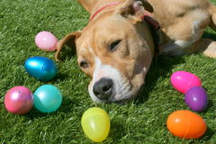 Pit Bull Dog with Easter Eggs Stock Photo