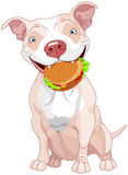 Pit Bull Dog Eats Hamburger Royalty Free Stock Photo