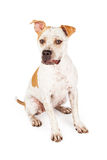Pit Bull Dog With Funny Expression Royalty Free Stock Photo