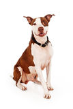Pit Bull Dog With Happy Expression Stock Photography