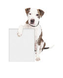 Pit Bull Dog Holding Blank Sign. Cute and friendly Pit Bull Dog holding a blank sign to enter your marketing message on Royalty Free Stock Image