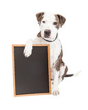 Pit Bull Dog Holding Chalk Board. Cute and friendly Pit Bull Dog holding a blank chalkboard to enter a message onto Stock Photography
