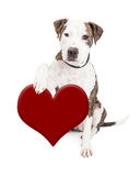 Pit Bull Dog Holding Heart Fotografering för Bildbyråer