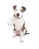 Pit Bull Dog Holding Paw upp Royaltyfri Fotografi