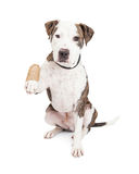 Pit Bull Dog With Injured Paw. Cute and friendly Pit Bull Dog holding up an injured and bandaged paw Stock Photos