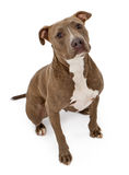 Pit Bull Dog With Innocent Look. A friendly looking Pit Bull dog sitting on a white backdrop Stock Photography