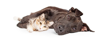 Pit Bull Dog and Kitten Cuddling. Friendly Pit Bull mixed breed dog laying and snuggling with a little kitten Stock Photos