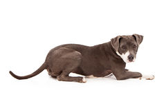 Pit Bull Dog Laying Down Stock Image
